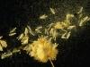 Sycamore Seed Pod by Liz Wuerffel