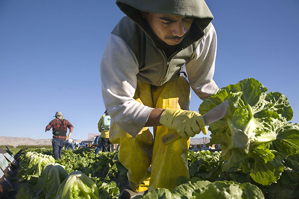 Indigenous Immigrants Harvest Lettuce in Coachella Valley