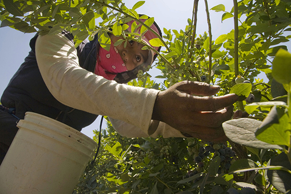Immigrant Farm Workers Pick Blueberries in a Dinuba Field